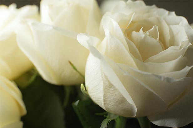 close up of two white roses